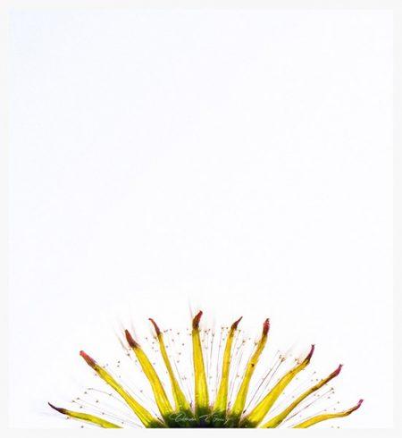 Dandelion, die Pusteblume Foto © Vitoscha Königs